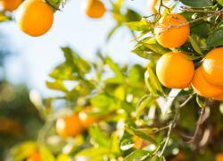 Orange trees